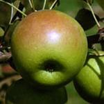 Shamrock apple