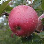 Spencer apple