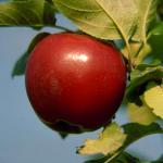 William's Pride apple