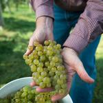 Grapes at UMass Cold Spring Orchards
