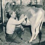 Albert R. Potter, head herdsman, Adams dairy farm, shaves Jersey cow, North Pleasant Street, Amherst, MA, late 1940's.