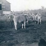 Herd of Jersey cows at Robert C. Adams farm, North Pleasant Street, Amherst, MA late 1940's.
