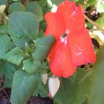 Impatiens plants withered with Downy mildew