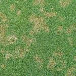 "The fungus-based disease called, ""dollar spot"". Photo credit: James Popko"