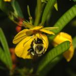 Bumble bee on a native species partridge pea (recommended for pollinator plantings)