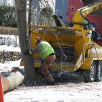 Cutting down trees due to invasive pest infestation in Worcester