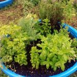 Agricultural Learning Center-Kiddie pool filled with herbs