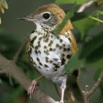 Wood Thrush photo credit: US Fish and Wildlife Service