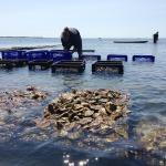 Preparing to bring oysters to market