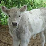 First silver dun Belted Galloway calf ro be born at UMass Amherst