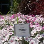 Silverberry Petunia