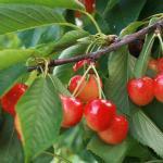 Ranier Cherries