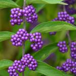 Beautyberry (Callicarpa spp.) fruit closeup