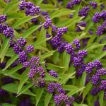 Beautyberry (Callicarpa spp.) fruit