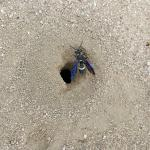 A single Cerceris fumipennis nest opening with a female wasp preparing to leave. Note that the wasp is mostly black in color, but with a single creamy yellow band on the upper abdomen. Also note the iridescent blue color of the wings. (Photo: T. Simisky, 2016)