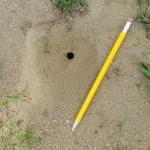 A single Cerceris fumipennis nest opening with a pencil for scale. (Photo: T. Simisky, 2016)