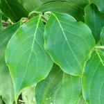 Cornus kousa leaves
