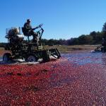 Harvesting cranberries, Wareham, Mass.