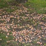 Ginkgo biloba fruit on ground