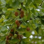 Ginkgo biloba fruit on tree