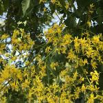 Golden rain tree flowers
