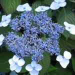 Fig. 4 - Hydrangea macrophylla 'Blue Billow'