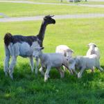 Inca the llama with lambs