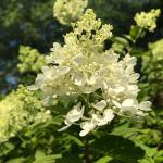Flower panicle of Hydrangea paniculata