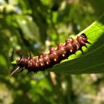 Pipevine swallowtail caterpillar.