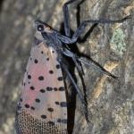 An adult spotted lanternfly at rest. Image courtesy of Gregory Hoover.