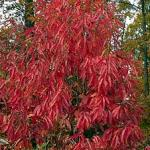 Sourwood (Oxydendrum arboreum) fall color. Photo: Virginia Tech Dept. of Forest Resources and Environmental Conservation
