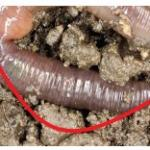 """In not """"crazy"""" worms, the clitellum is farther away from the head."""