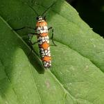 Ailanthus webworm moth. (photo by Jacqueline Hoyle)