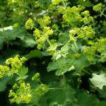 Alchemilla mollis, lady's mantle.  (photo: Mark Richardson)
