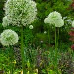 Allium stipitatum 'Mount Everest', Persian shallots