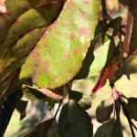 Apple scab disease lesions on crabapple leaves.  (photo: Geoffrey Njue)