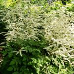 Astilbe chinensis 'Vision in White', white astilbe  (photo: Mark Richardson)