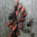 Boxelder bug adults and nymphs (immatures) gathered around a crack in a fence on 10/3/2016. These insects use piercing-sucking mouthparts to feed on the seeds of their hosts, such as boxelder. (Photo: C. Simisky)