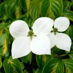 Cornus kousa 'Gold Star '