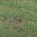 Figure 1. Damage caused by craneflies on the short cut grass (fairways)