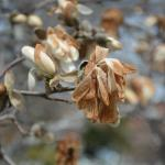 Cold damage to flowers of star magnolia.