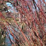 Plant of the Week: Cornus sericea