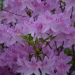 Plant of the week: Rhododendron yedoense var. poukhanese Korean azalea