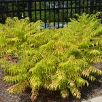 Plant of the Week: Rhus typhina 'Bailtiger', Tiger Eyes staghorn sumac