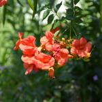Plant of the Week: Campsis radicans