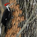 A pileated woodpecker feasting on overwintering emerald ash borer larvae beneath the bark of this ash tree photographed in Lee, MA on 2/13/2021. (Photo courtesy of Cindy Packard.)