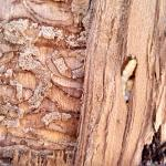 An example of the damage larval emerald ash borers can do to ash host trees. Feeding galleries packed with frass are visible beneath the bark of this heavily infested tree. On the right side of the image, a larval emerald ash borer can be seen in its J-shaped prepupal position. (Simisky, UMass Extension)