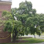 A common spindle tree (Euonymus europaeus) on the UMass Amherst campus found with a heavy infestation of euonymus caterpillars on 6/11/2018. The areas circled in yellow are where the webbing is heaviest. This tree is approximately 3.1 miles from the initial area reported on for this insect in Amherst, MA. (Photo: T. Simisky)