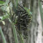 Euonymus caterpillars and webbing clinging to defoliated host plant stems. (T. Simisky)