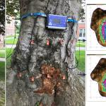 European beech (Fagus sylvatica) infected by the wood-rotting pathogen Ganoderma applanatum. Sonic and electrical resistance tomographs indicate extensive decay with a cavity is present in the lower trunk.